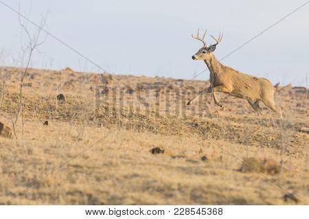 A White-tailed Buck Runs Up A Rocky Hill At The Tallgrass Prairie Preserve In Pawhuska, Oklahoma, Fe