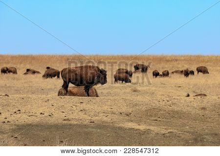 American Bison Gather To Rest In The Grass At The Tallgrass Prairie Preserve In Pawhuska, Oklahoma,