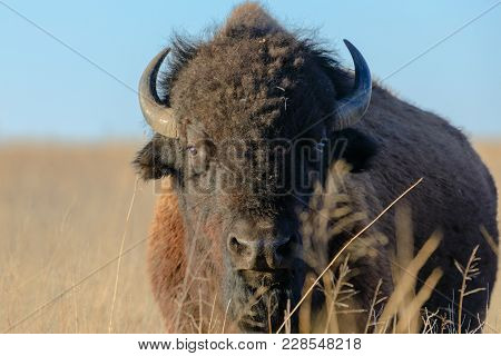 An American Bison Stands In The Grass At The Tallgrass Prairie Preserve In Pawhuska, Oklahoma, Febru