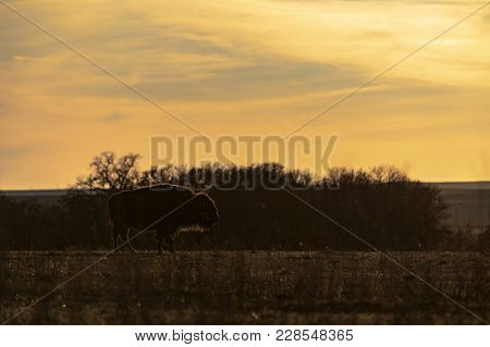 An American Bison Walking On A Small Ridge At Sunset At The Tallgrass Prairie Preserve In Pawhuska,
