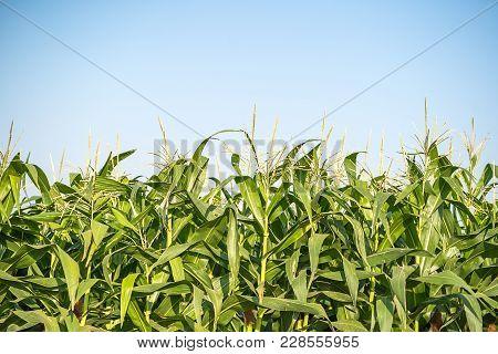 Corn Pollen In The Cornfield