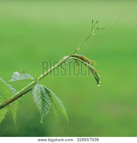 New Virginia Victoria Creeper Leaves, Early Summer Rain Raindrops, Wet Fresh Leaf Rainy Day Backgrou