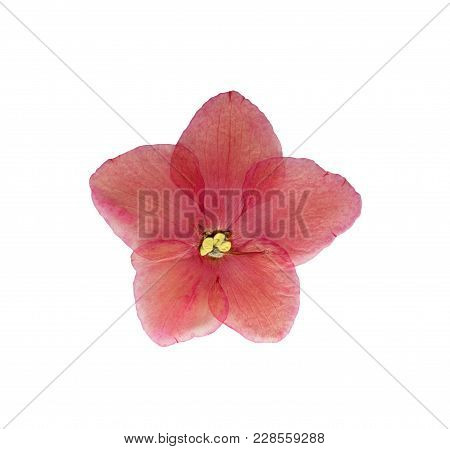 Pressed And Dried Flower Violets (saintpaulia), Isolated On White Background. For Use In Scrapbookin