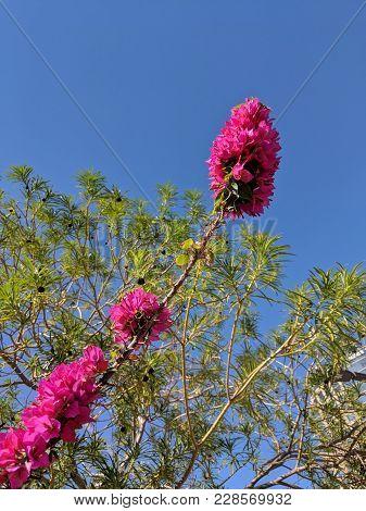 Crimson Red Bougainvillea Bush Twig Reaching In To Blue Sky; Copyspace