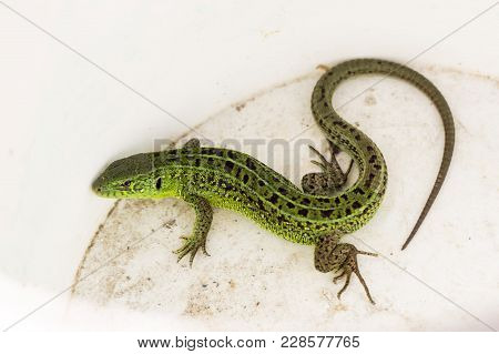 Green Lacerta Viridis, Lacerta Agilis Is A Species Of Lizard Of The Genus Green Lizards. Lizard On W