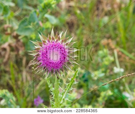 Musk Or Nodding Thistle, Carduus Nutans, Flower Close-up With Bokeh Background, Selective Focus, Sha