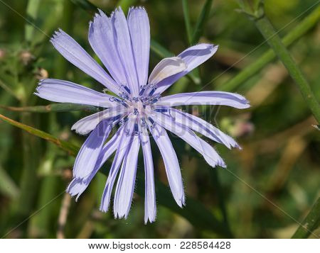 Common Chicory, Cichorium Intybus, Flower With Blurred Background Macro, Selective Focus, Shallow Do