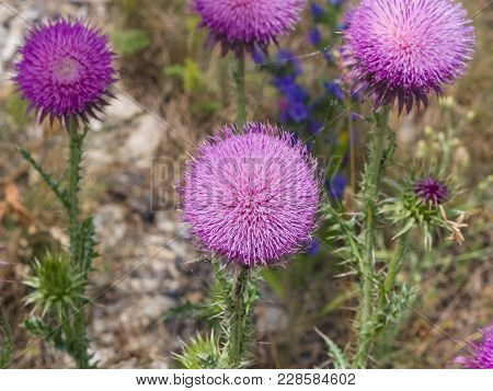 Musk Or Nodding Thistle, Carduus Nutans, Flowers Close-up With Bokeh Background, Selective Focus, Sh