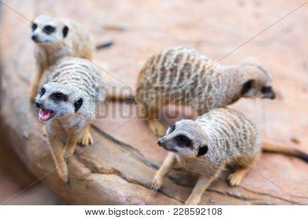 Clan Of Meerkats Suricata Suricatta, African Native Animals, Small Carnivore Belonging To The Mongoo