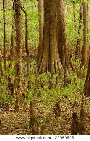 Cypress Trees & Knees In A Dried-up Swamp Area