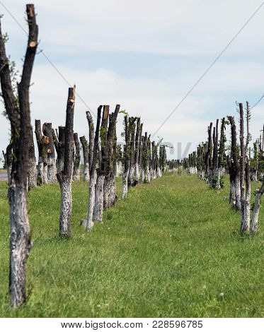 Many Felled Trees Standing In Rows. On A Summer Day