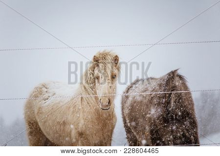 Beautiful Hairy Horses Standing Behing The Electric Fence In Heavy Snowfall. Norwegian Farm In The W