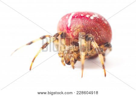 Red Spider. Large Red Spider With White Color Speck On Body. Isolated On White Background.