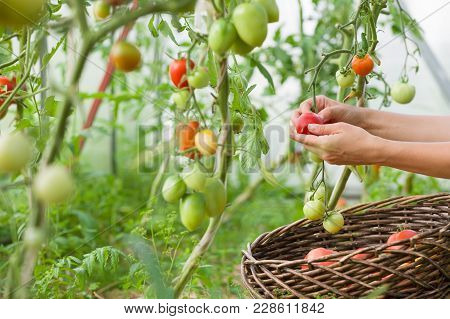 Woman's Hands Harvesting Fresh Organic Tomatoes In Her Garden On A Sunny Day. Farmer Picking Tomatoe