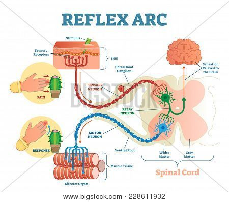 Spinal Reflex Arc Anatomical Scheme, Vector Illustration, With Spinal Cord, Stimulus Pathway To The