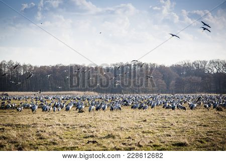 Thousands Of Cranes Arriving To The Lake Pulken In Sweden In Springtime To Rest Before They Fly Furt