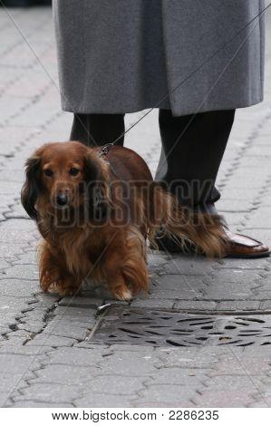 Small Browne Pet