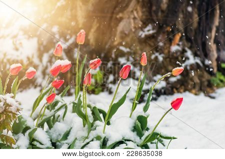 Blooming Red Tulip Flowers In Spring Covered With The Last Cold Snow In The Park When It Suddenly Be