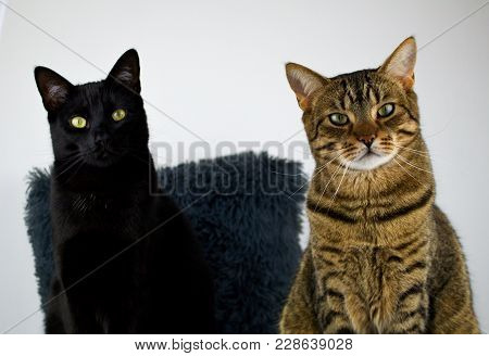 Two Cats Posing In Front Of The Lens.cat Twins Are Staring Curiously At The Camera.