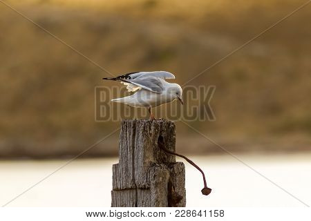 A Seagull With Wings Spread On A Post At Myponga Beach In South Australia Australia On The 16th Febr