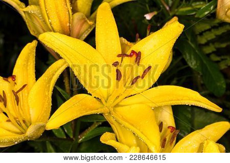 Yellow Bud In The Drops Of Dew. Yellow Lilies In The Garden After The Rain. Close-up Of A Blooming L