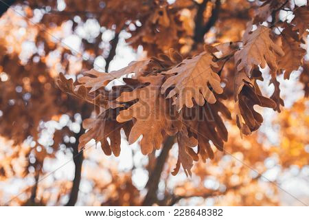 Oak Tree Leaves Background. Oak Branch With Golden Leaves. Autumn Leaves Texture And Background For
