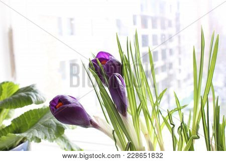 Crocuses At Window Deck. Violet Crocus Flowers In Blossom At Home.
