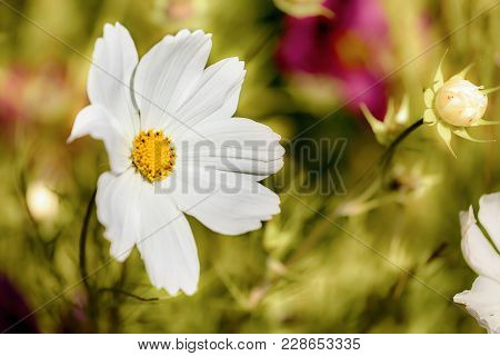 Beautiful Single White Flower Close Up Growing In A Spring Garden
