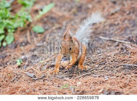 Red Squirrel, Sciurus Vulgaris, In The Forest Eating A Nut
