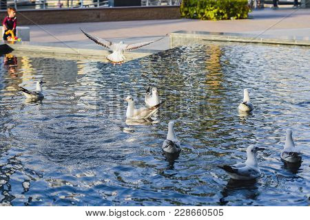The Nature Of Birds, Gulls On An Artificial Pond In An Urban Environment.