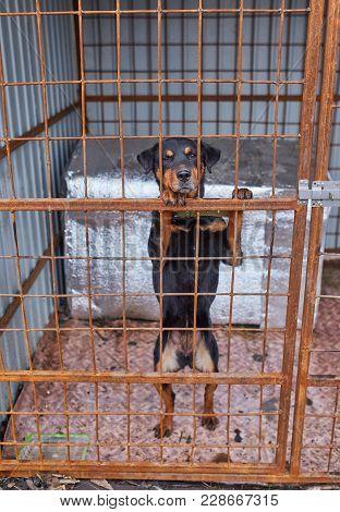 Sad Homeless Rottweiler In Animal Shelter Cage