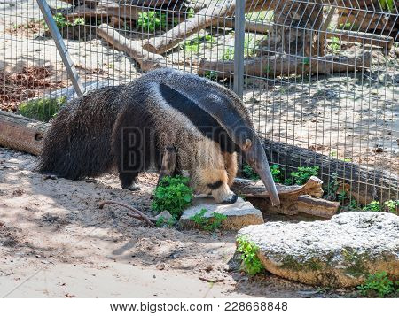 Giant Anteater - Myremacophaga Tridactyla - Is Walking On The Ground On A Sunny Day