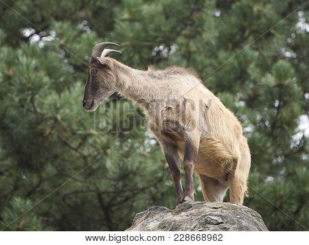 Himalayan Tahr Standing In Its Natural Habitat