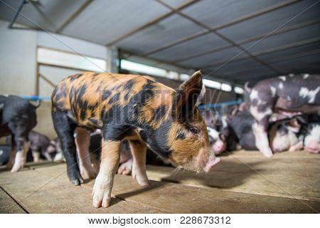 Berkshire Pig Or Kurobuta Pig -swine Farming Business. Pigfarmingis The Raising And Breeding Of D