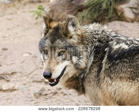 A Mexican Gray Wolf, Canis Lupus, Largest Of Wild Dogs And Found Only In The Wilderness