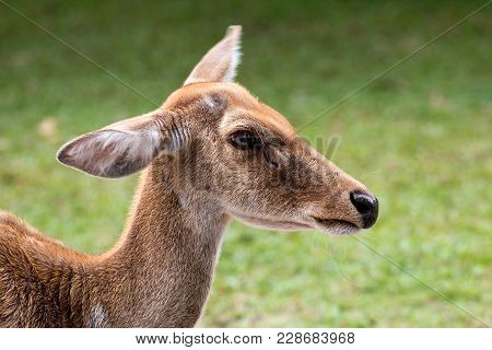 Close Up Of Eld's Deer Head Shot