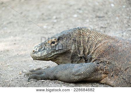 A Komodo Dragon Of Komodo Nation Park On Rinca Island, Indonesia.