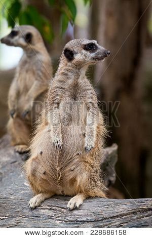 Close Up Of Couple Meerkats Standing During On Guard For Family; Suricata Suricatta Or Suricate Is A