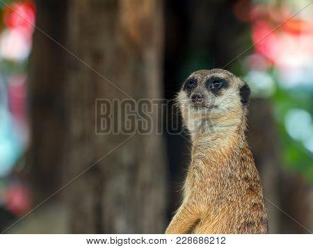 Close Up Of Meerkat Staning On Guard Duty; Suricata Suricatta Or Suricate Is A Small Carnivoran