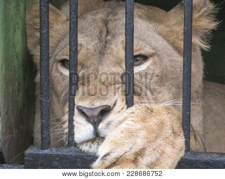 Lion In A Cage Going To The Zoo Animal In Captivity