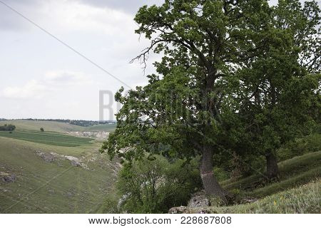 Landscape With An Oak. There Is The Oak Located On A Slope.