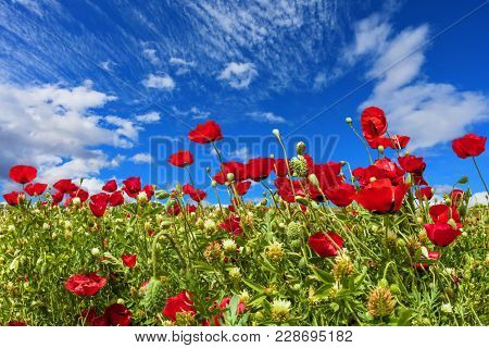 Concept of ecological and rural tourism. Field of blooming anemones of the family of buttercups. Adorable cirrus clouds in the blue sky. Spring in Israel