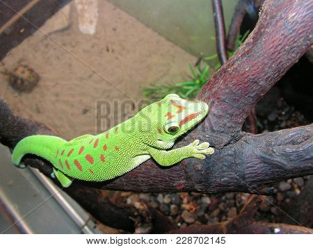 Chameleon, Mammals, Beta, Zoo, Green, On A Branch, With Red Spots