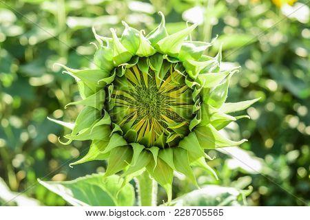 Flor Girasol Amarillo Cerrado De Color Verde