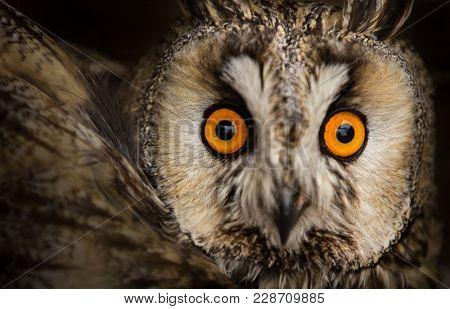 long-eared owl (Asio otus). Portrait photo.
