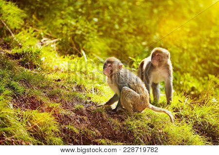 Rhesus macaques in forest. Shimla, Himachal Pradesh, India. With lens flare