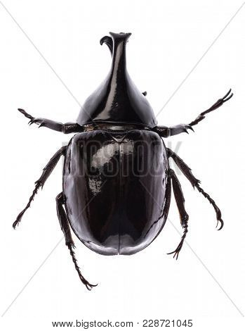 Large rhinoceros beetle (Xylotrupes gideon sumatrensis) from Indonesia isolated on white