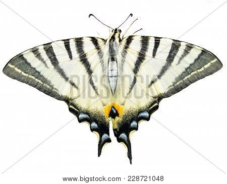 Scarce swallowtail butterfly (Iphiclides podalirius) isolated on a white background