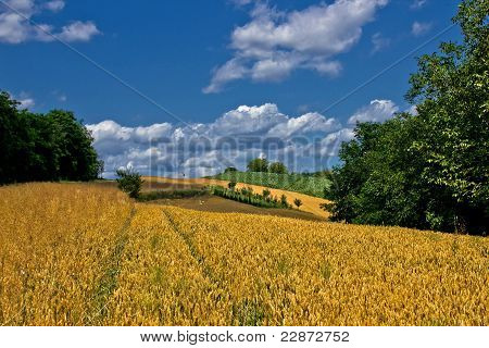 Beautiful Golden Grain Field In Summer