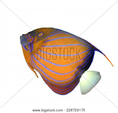 Bluering Angelfish tropical fish isolated on white background